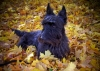 Scottish Terrier, 8, black